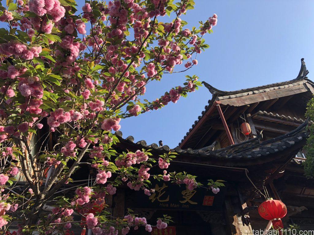 麗江観光|麗江古城区に咲く桜?