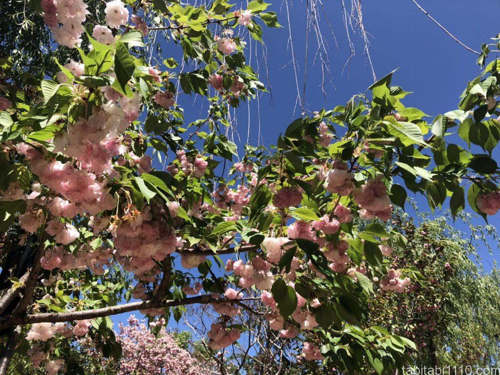 麗江観光|黒龍譚に咲く花