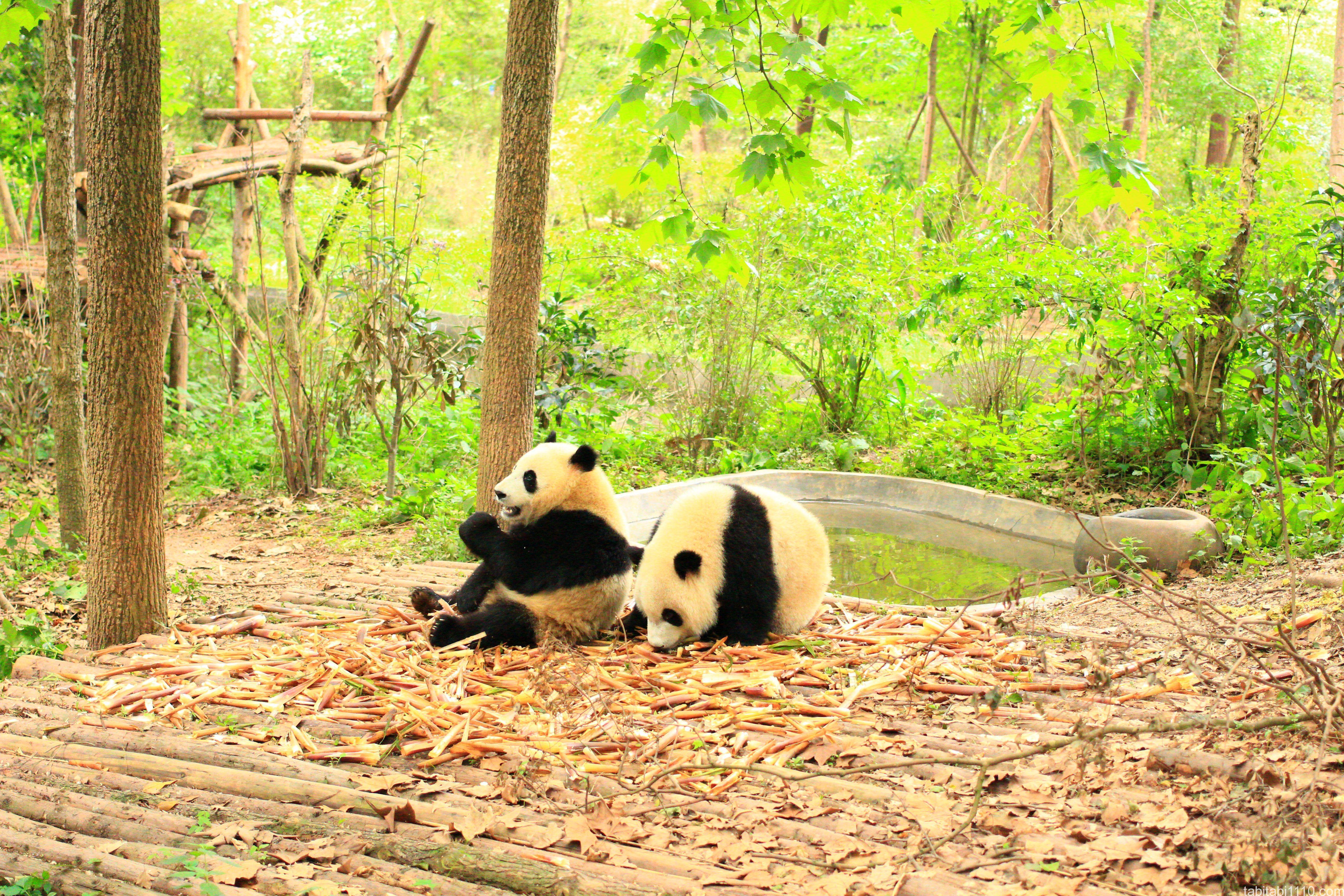 成都パンダ基地のパンダ