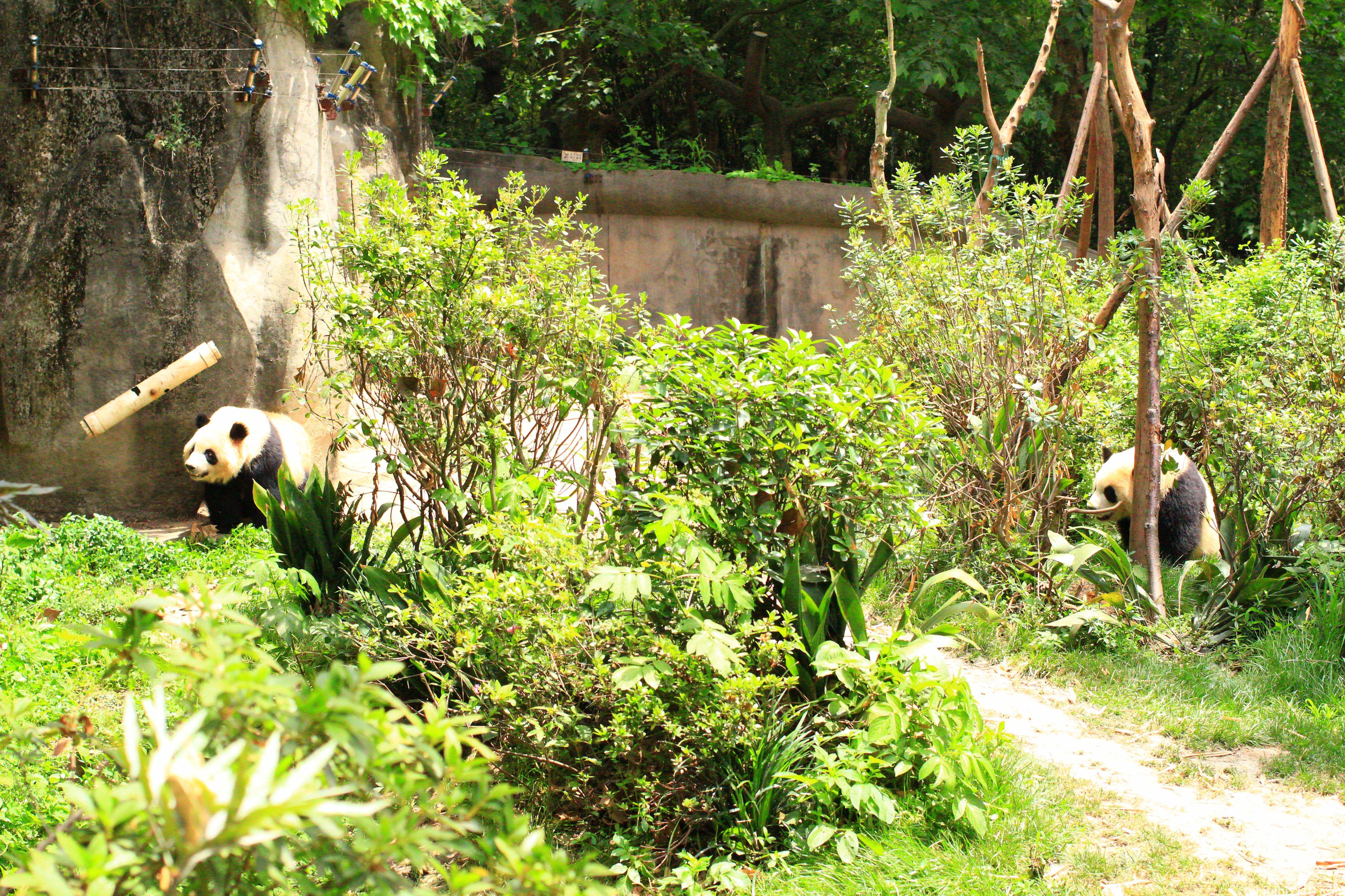 成都パンダ基地の子供パンダ