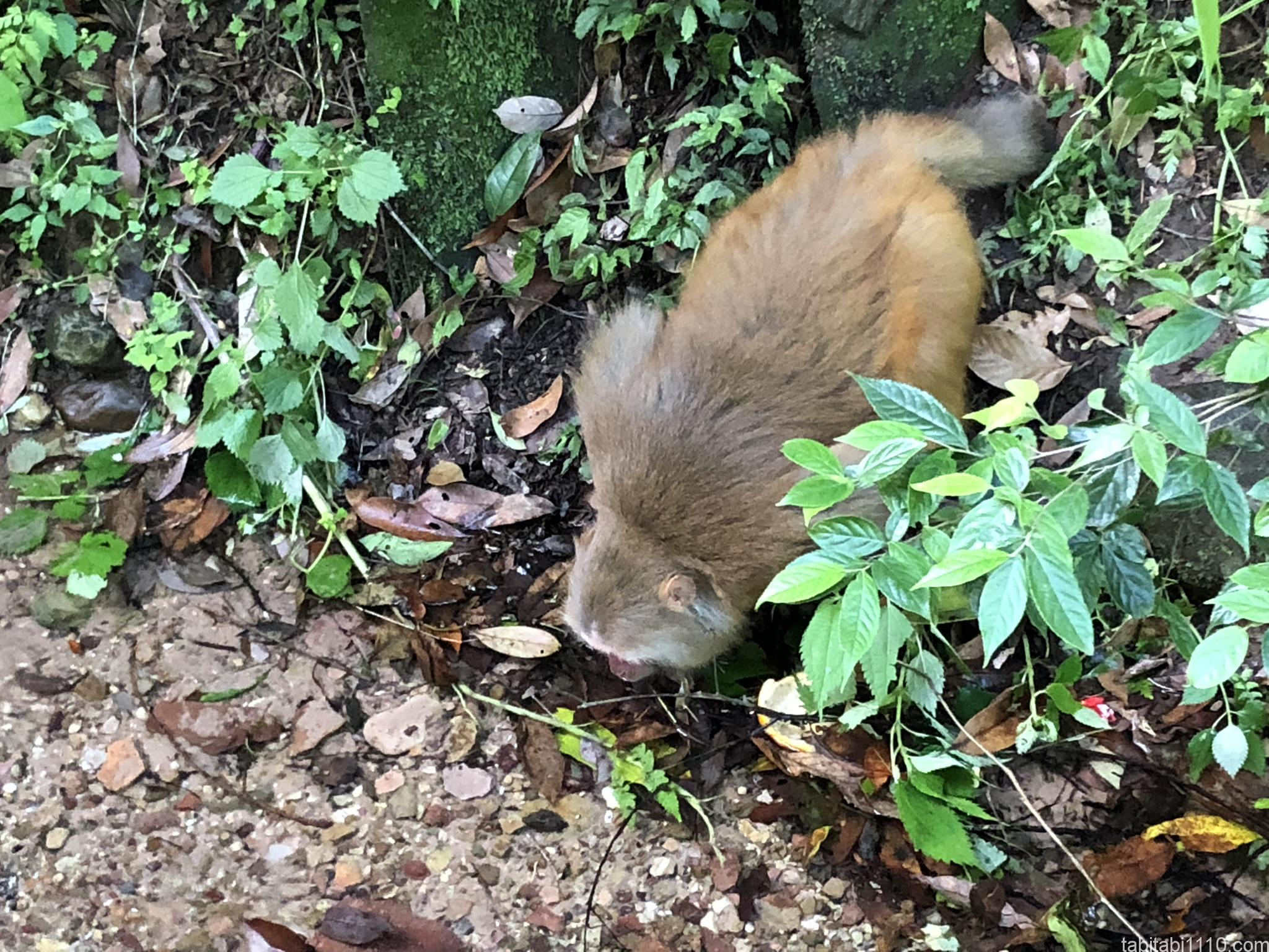 武陵源観光|金鞭渓の猿