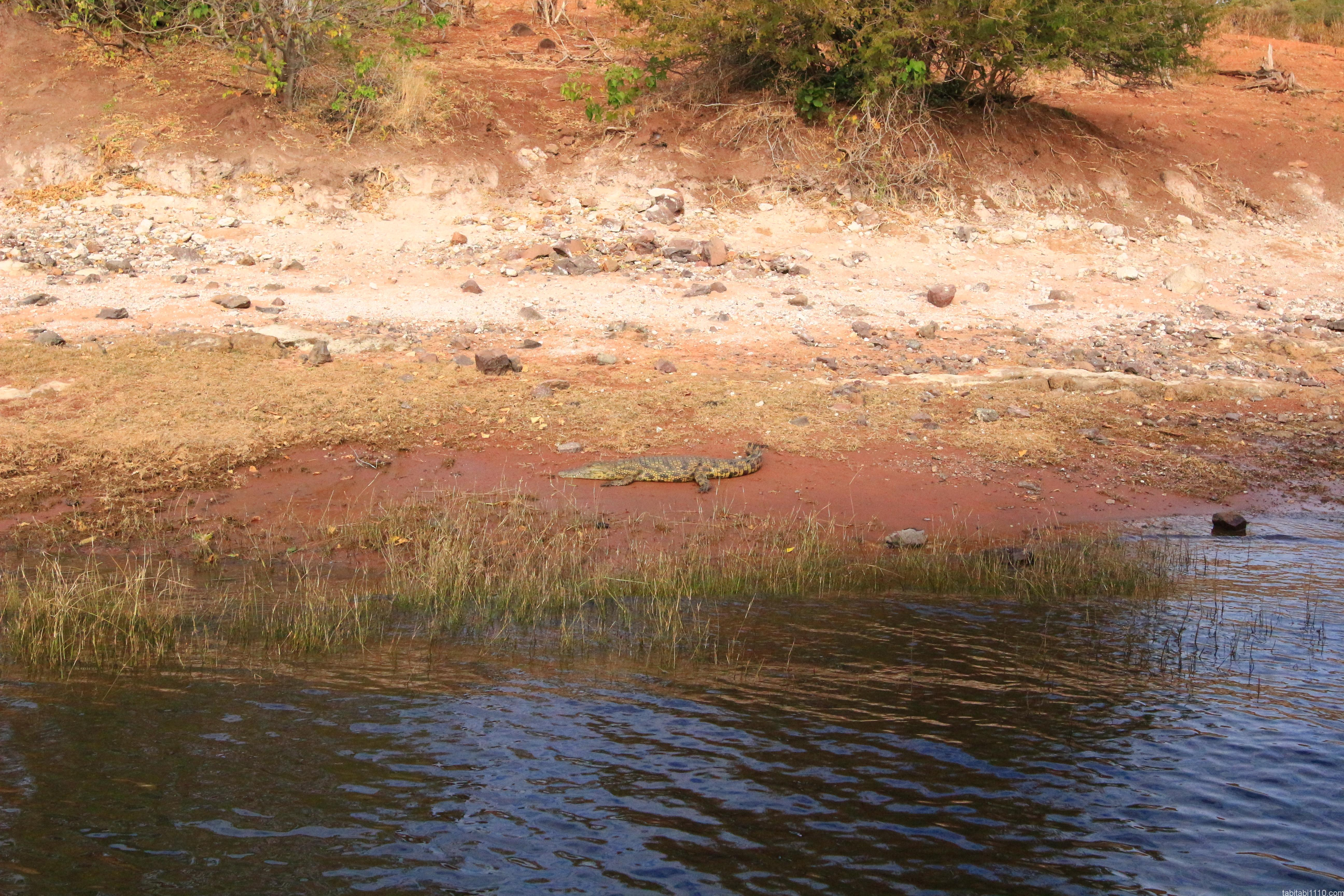 ボートサファリで見られた動物④クロコダイル