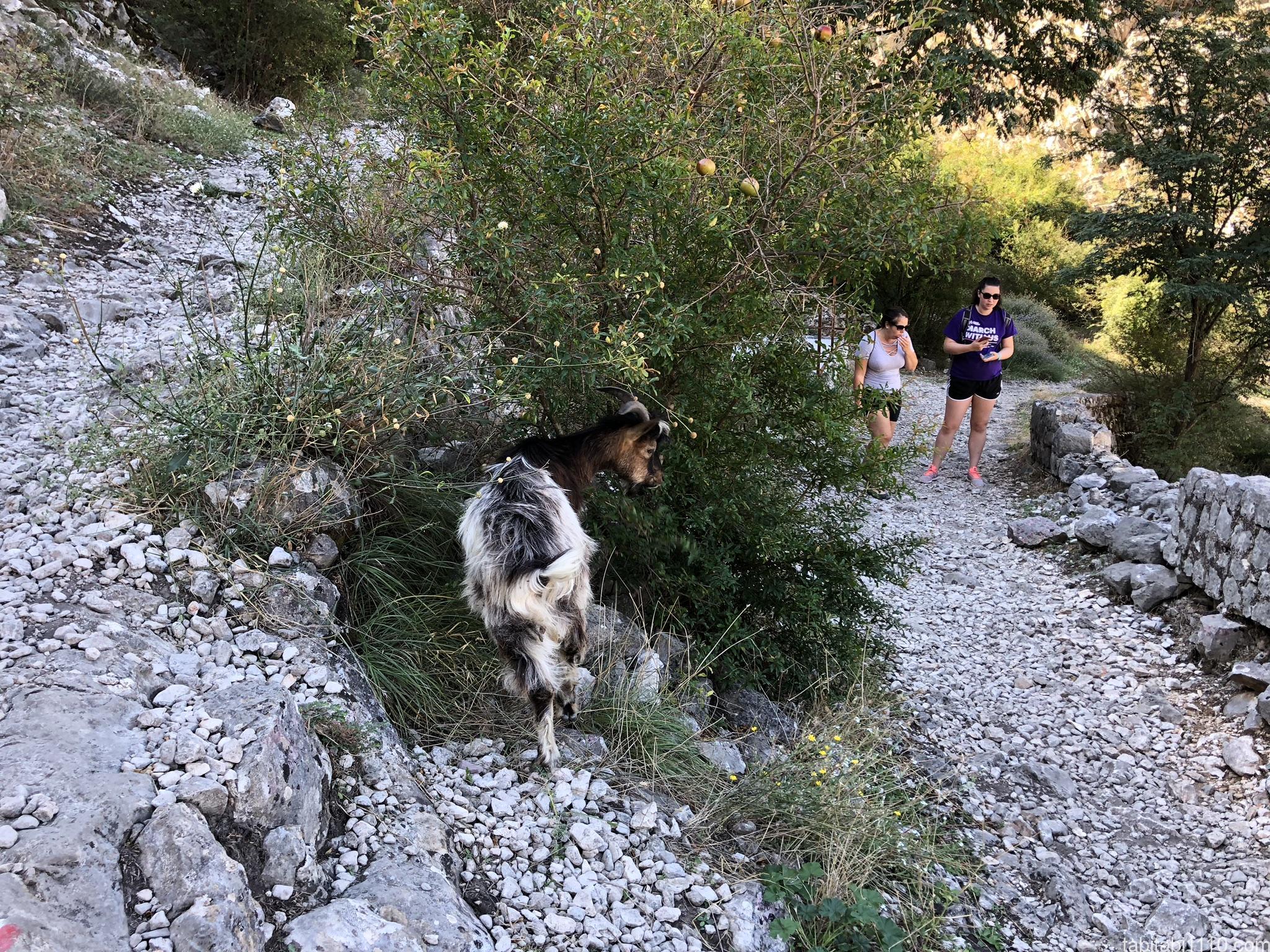 コトル|展望台までの登山|ヤギ