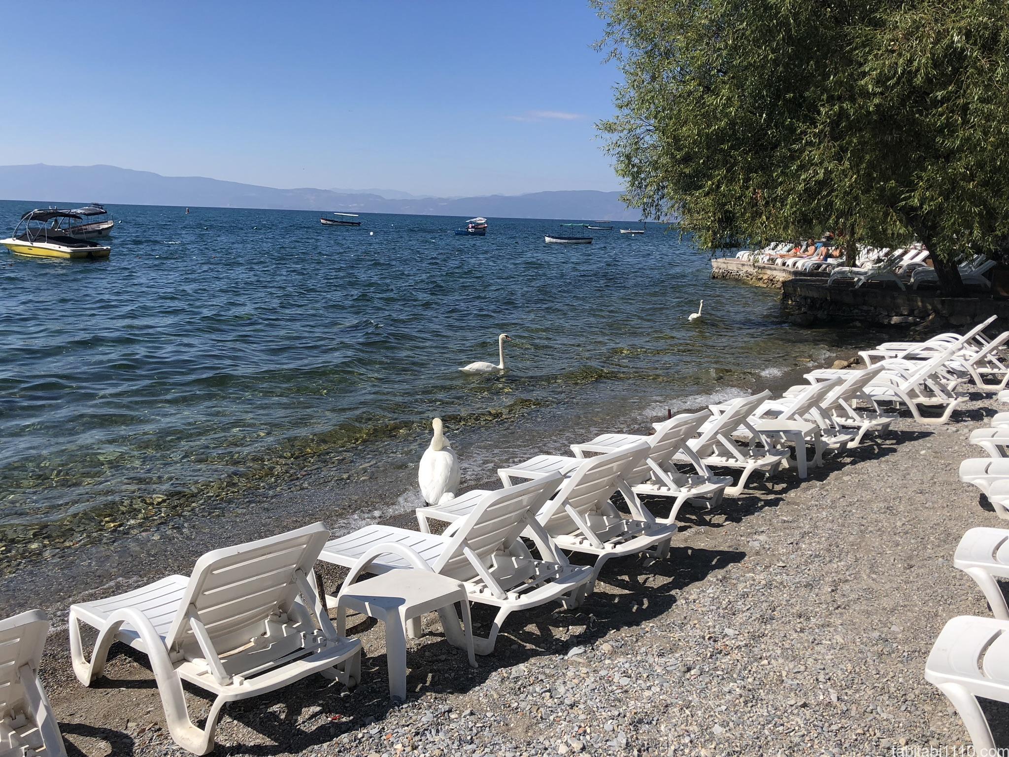 オフリド湖|白鳥