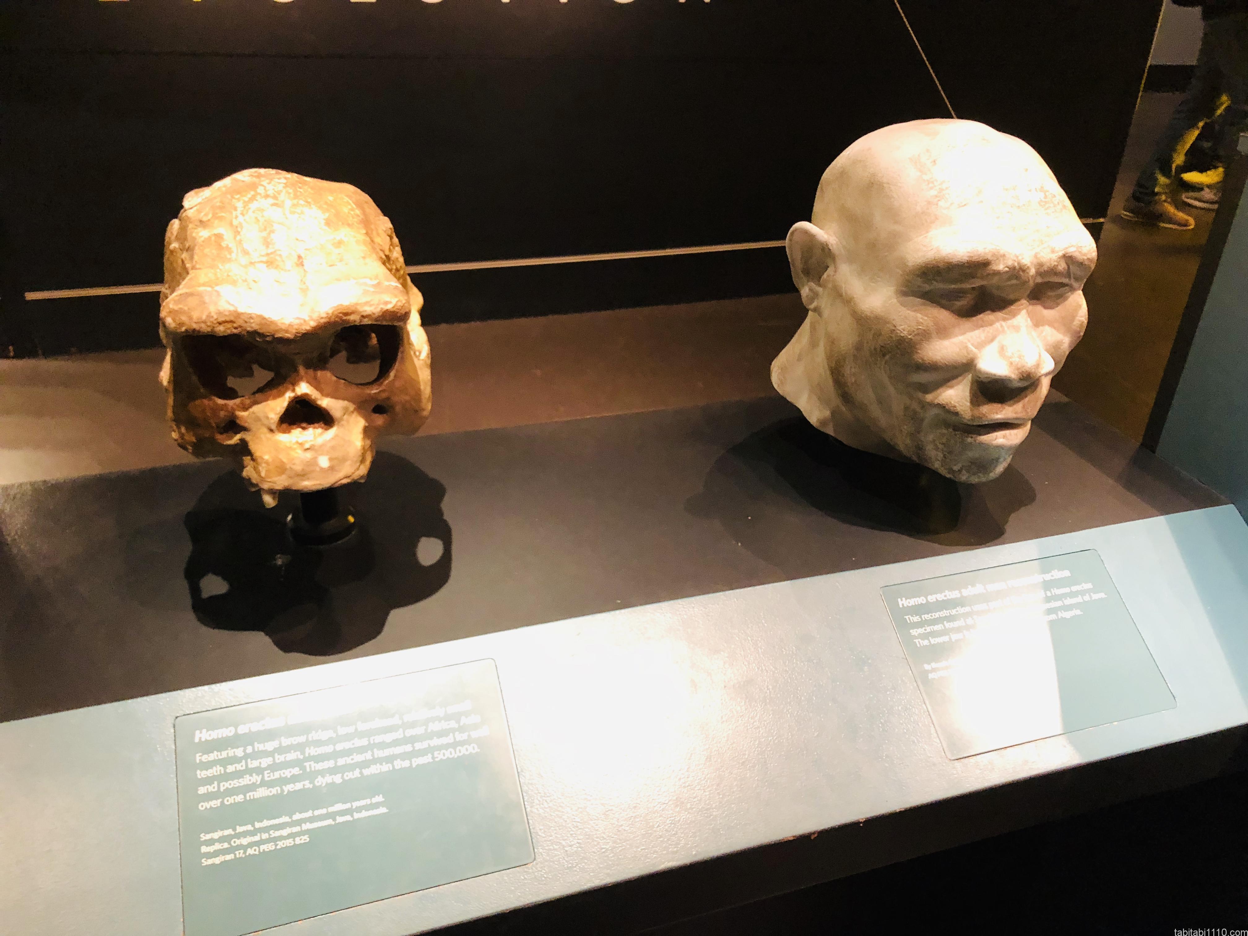 自然史博物館|ホモエレクタス