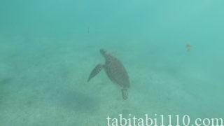 アクマルビーチのウミガメ