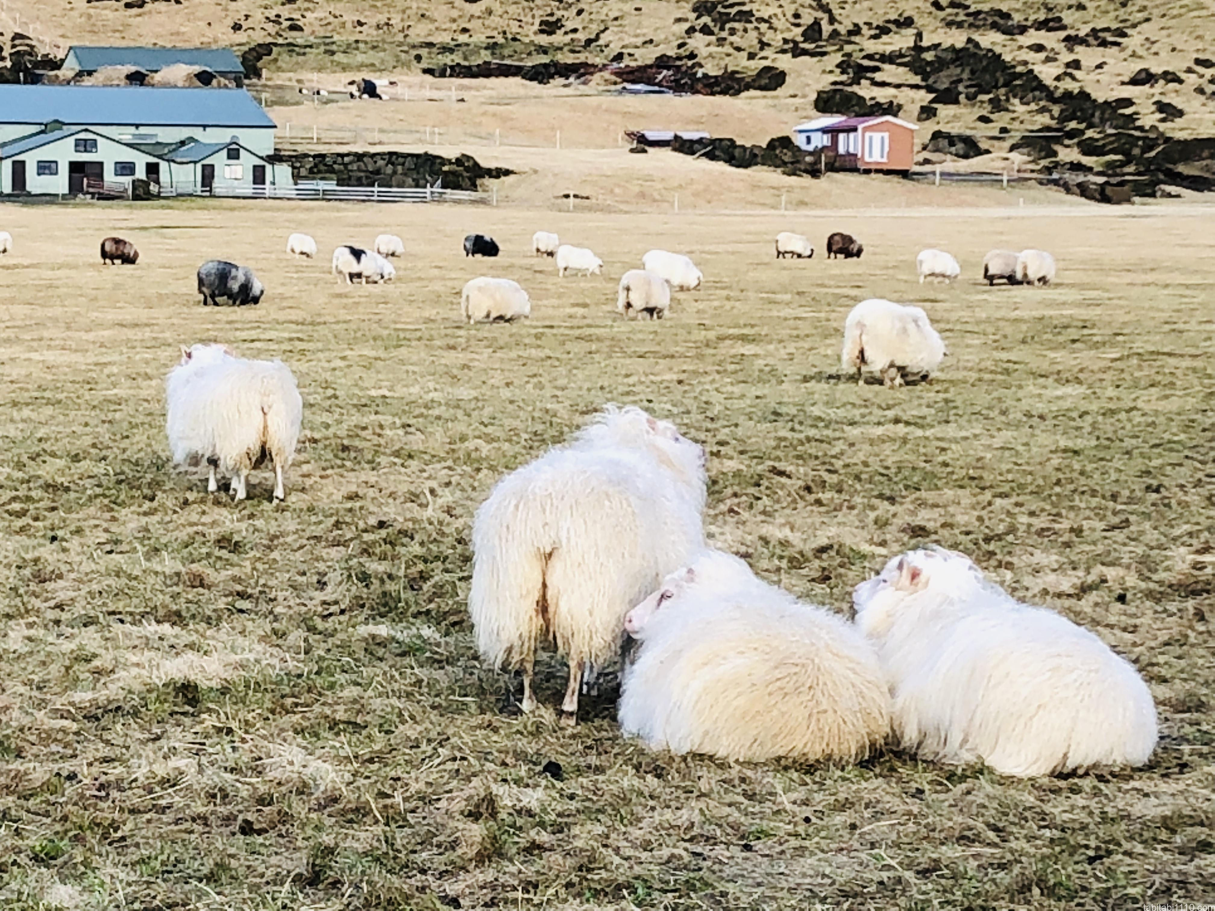 アイスランドのもふ羊