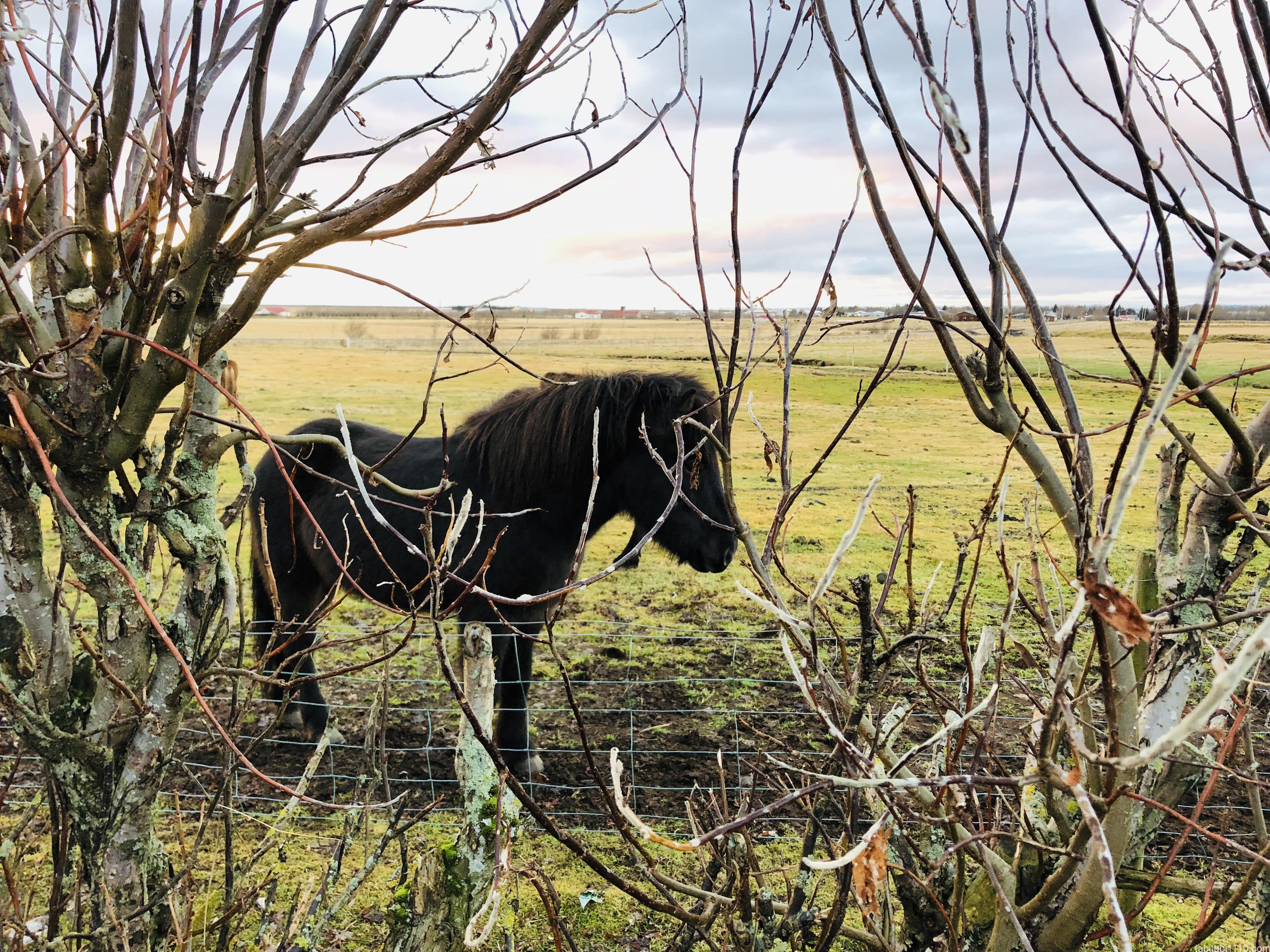 アイスランドのもふ馬